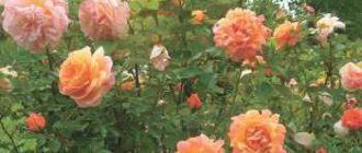 kak-pravilno-vyrashhivat-rozy-2800599