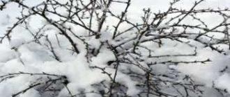 podgotovka-kryzhovnika-k-zime-3800356