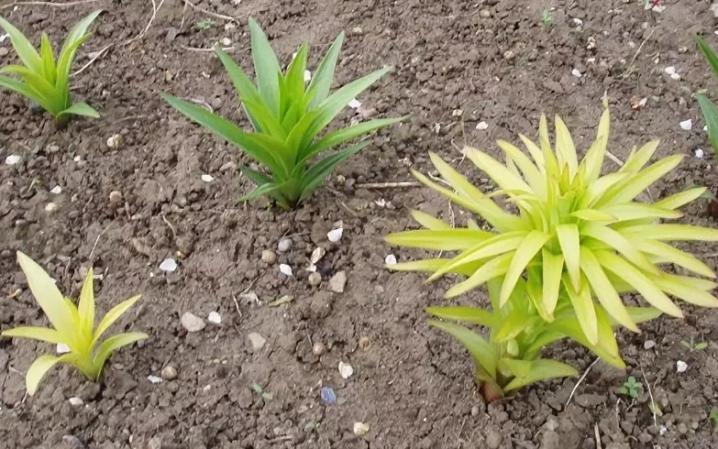 u-lilii-zhelteyut-listya-prichiny-i-lechenie-4.jpg