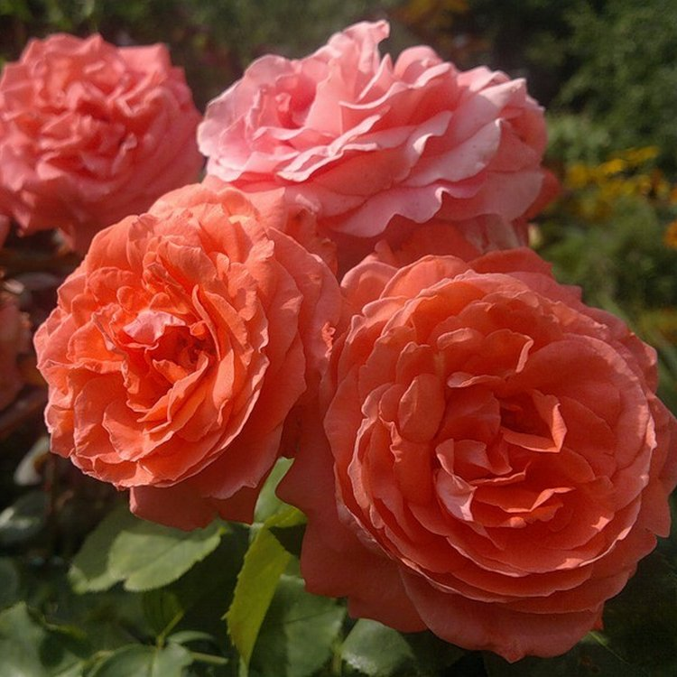 klaimbery-kustovye-rozy-dlya-sada-mnogoletnie-foto-i-nazvanie.jpg