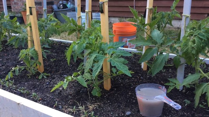 Как правильно подкормить помидоры дрожжами: готовим растворы и рассчитываем дозировку