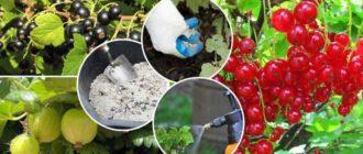 Полная информация о том, чем подкормить смородину после цветения в период, когда завязываются плоды