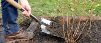 Как правильно организовать посадку и уход в открытом грунте красной смородине?
