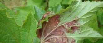 Как диагностировать красные пятна на листьях смородины и чем их обработать