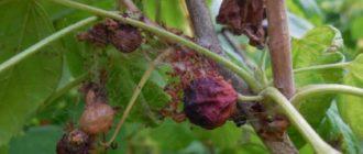 ТОП-12 вредителей смородины и меры борьбы с ними