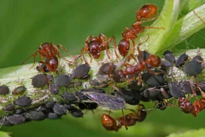 Что делать если на смородине муравьи, нужно ли с ними бороться, и как это делать?
