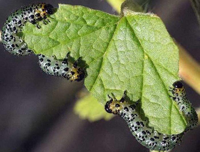 Как безопасно и правильно бороться с гусеницами на смородине