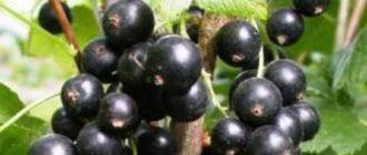Что делать со смородиной после сбора урожая?