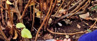 Как правильно, без вреда для растения, провести обрезку смородины осенью для начинающих