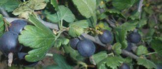 Как правильно растить на участке йошту - гибрид крыжовника и смородины?