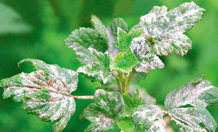 Скручиваются листья у смородины – причины, и способы борьбы с проблемой