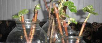 Разные способы, как размножить весной и летом черную смородину