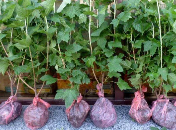 Пошаговая инструкция - выращивание смородины от А до Я