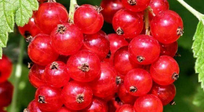ТОП-18 лучших сортов красной смородины
