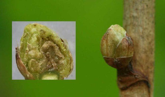 Как правильно бороться с паутинным клещом на смородине, без вреда для плодов?
