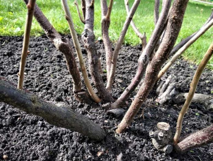 Пошаговая инструкция о том, как обрезать смородину весной чтобы был хороший урожай