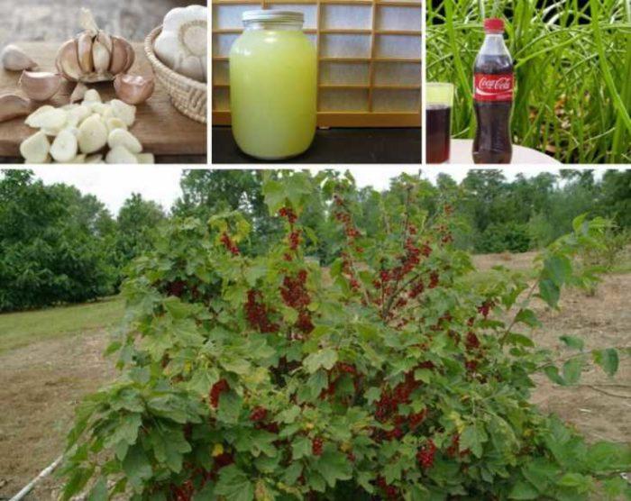 Подробная информация о том, чем опрыскать смородину весной от вредителей и болезней
