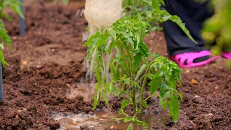 Выращиваем лучший урожай томатов 2021: как подкормить помидоры мочевиной