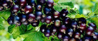 Как получить богатый урожай с кустов черной смородины сорта Пигмей?