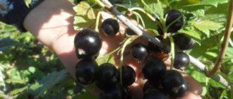 Как с кустов черной смородины сорта Добрыня, получить максимальный урожай?