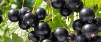 Подробная инструкция с отзывами, по выращиванию черной смородины сорта Лентяй