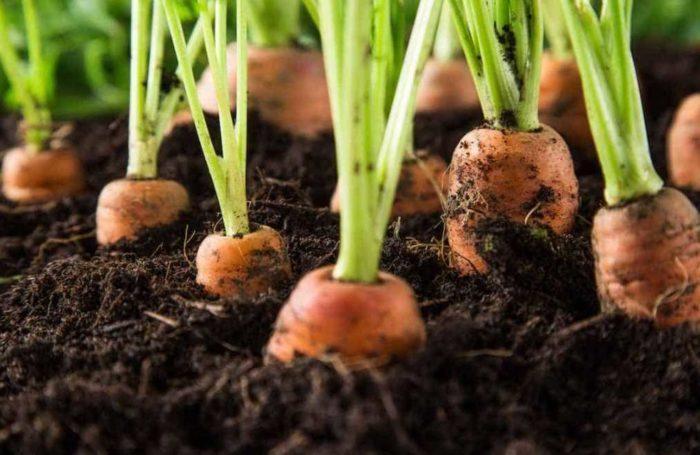 Советы экспертов по правильному поливу моркови в августе, в открытом грунте - как увлажнить почву и не попортить корнеплод?